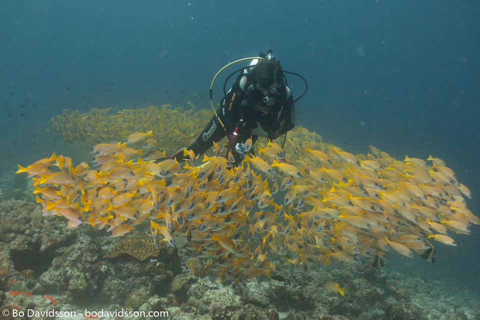 BD-150424-Maldives-8063-Lutjanus-kasmira-(Forsskål.-1775)-[Common-bluestripe-snapper].jpg